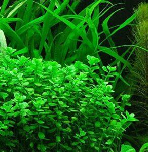 Plants for a Brackish Water Aquarium