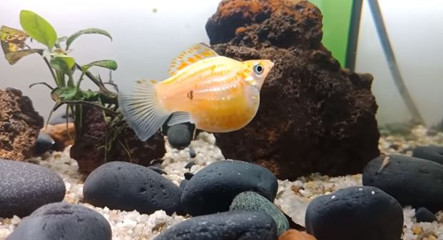 [Quick Signs] How to Tell if a Molly Fish is Pregnant?