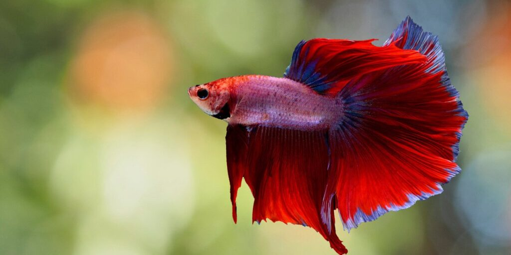How long Betta fish can go without food